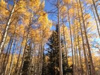 Some of the aspens turning during one of our many beauty runs. [P] The Nish
